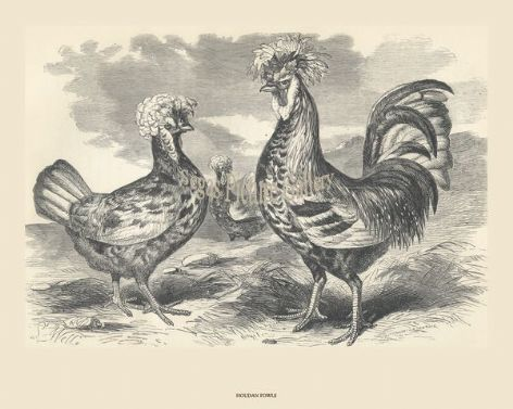 Fine poultry art print of Houdans; by Harrison Weir